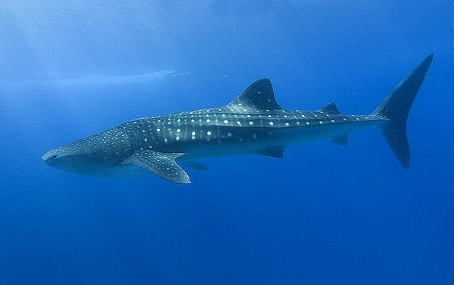 «Dharavandhoo Thila - Whale Shark» av Shiyam ElkCloner - Eget verk. Lisensiert under Creative Commons Attribution-Share Alike 3.0 via Wikimedia Commons -